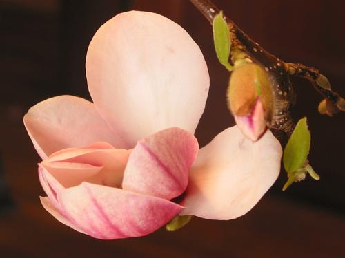 Magnolia_bud