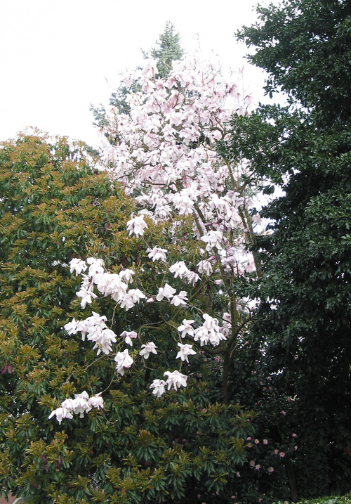 Floppy_magnolia