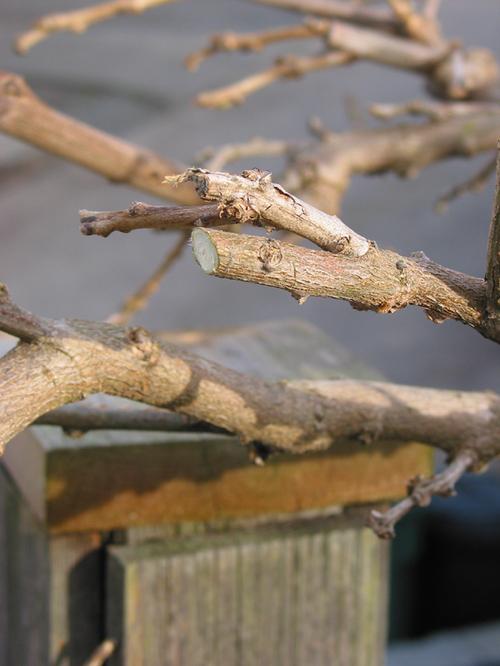 Spring_pruning
