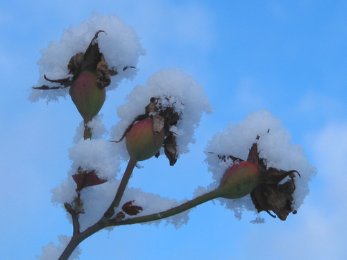 Buds_and_snow_2