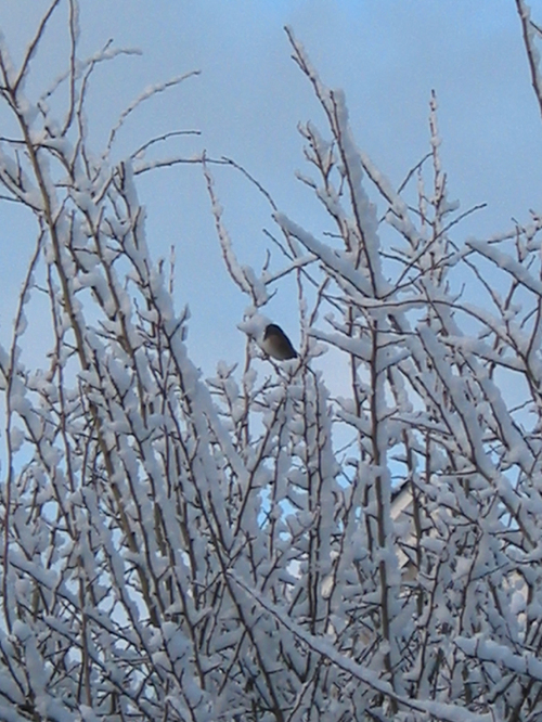 Junco_in_the_snow