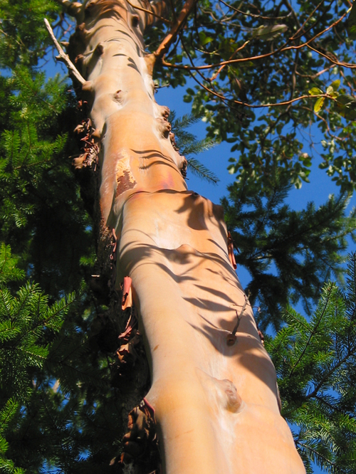 Pacific_madrone