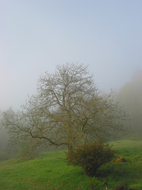 Fog_and_the_walnut_tree