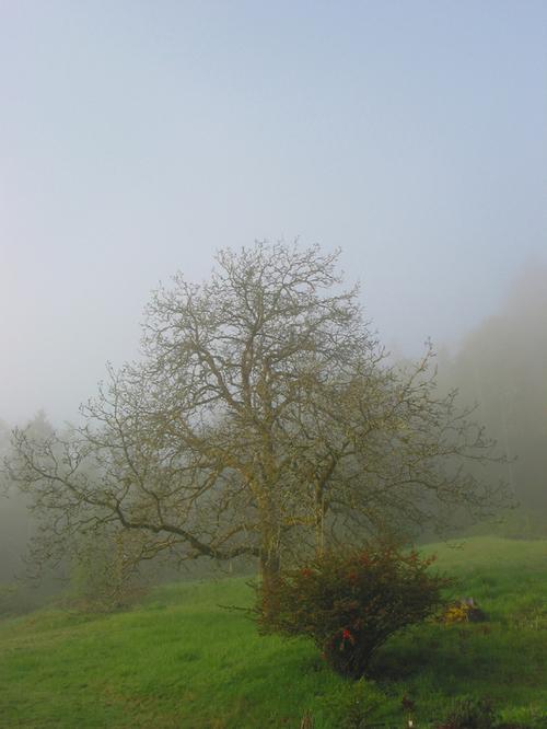 Fog_and_the_walnut_tree