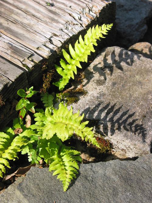 Shawdow_of_the_ferns_on_the_rocks
