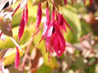 little ruby drops