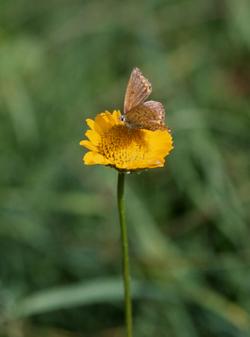 Italianbutterfly