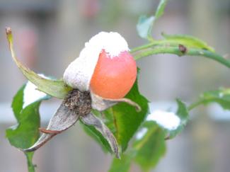Snow_bud